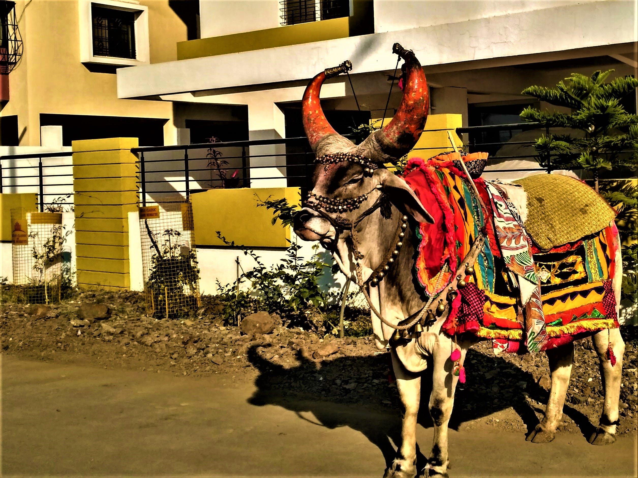 Free stock photo of animal, cow, mammal, horns