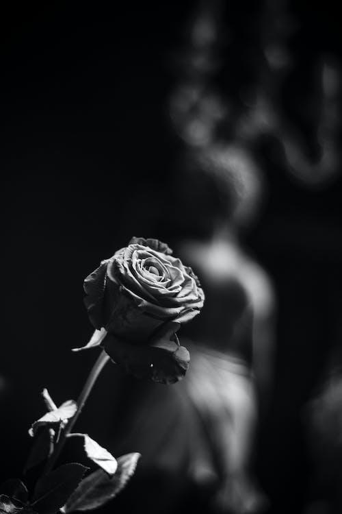 Immagine gratuita di bianco e nero, fiori bellissimi, rosa