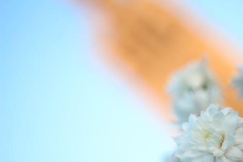 Immagine gratuita di bianco, fiore, fiori, giralda