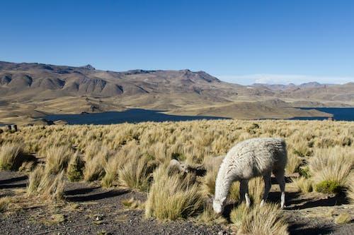 Ilmainen kuvapankkikuva tunnisteilla eläimet, laama, lammas, maisema