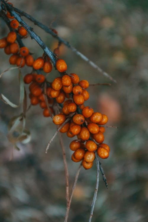Brown Round Fruits on Tree Branch