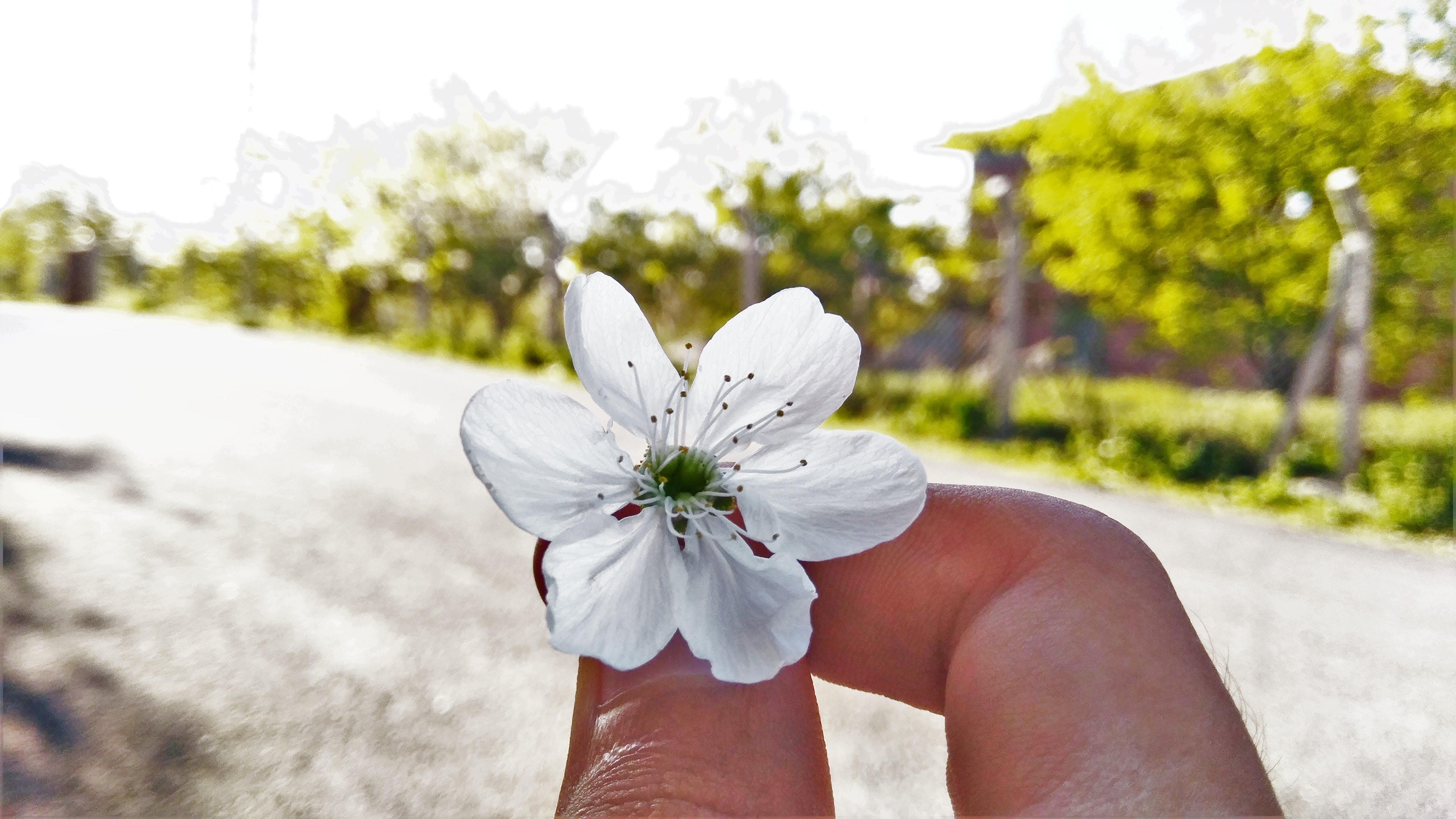 White 6-petaled Flower on Person's Hand