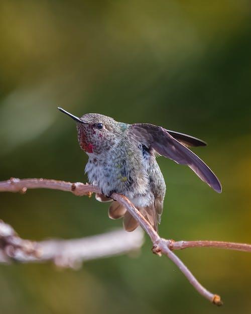 Foto stok gratis burung, burung kolibri, hummingbird