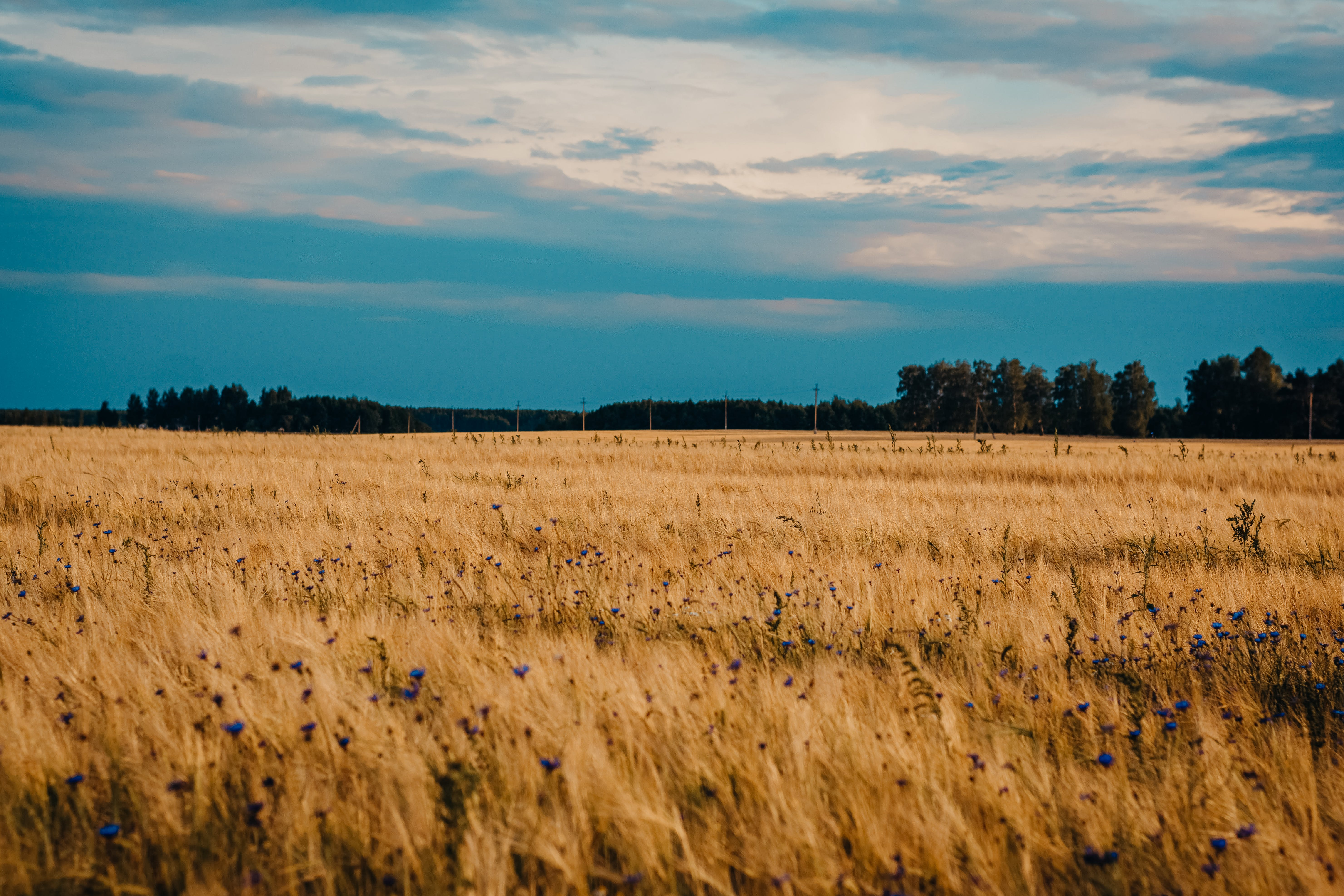 Field of Brown Wheat