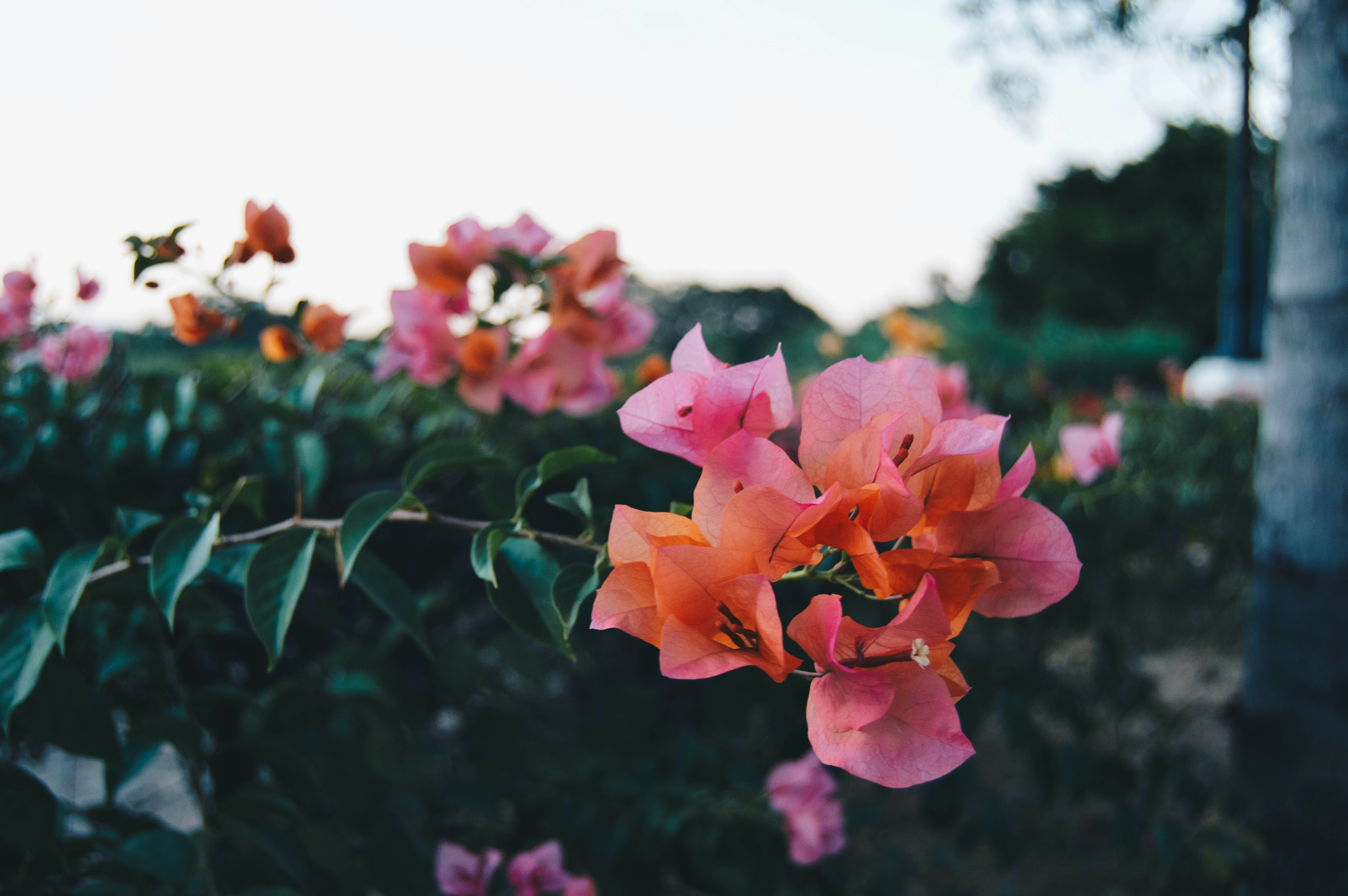 Selective Focus Photography of Pink Bougainvillea Flower