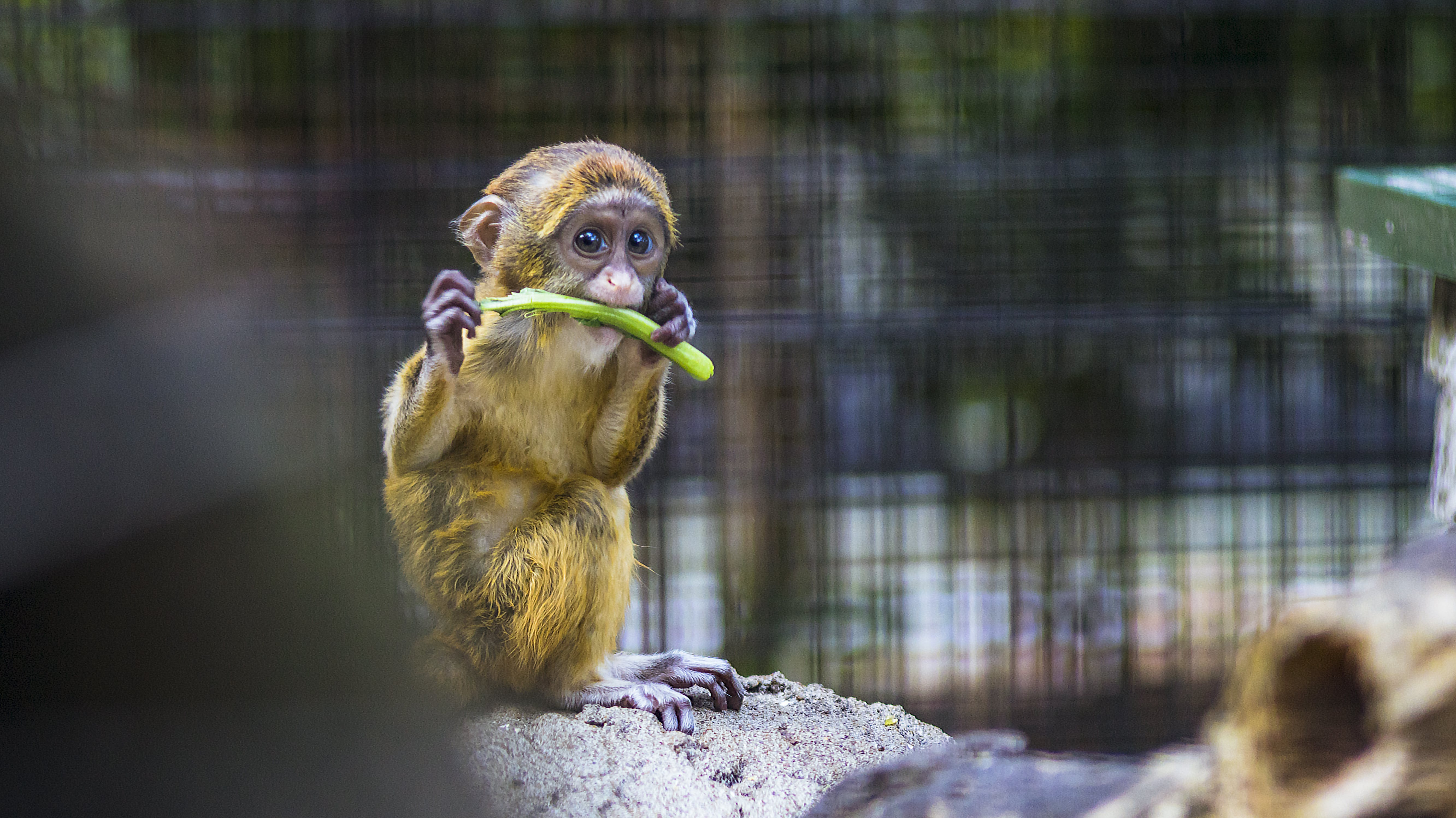 Photography of a Baby Monkey Eating Vegetable