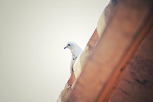 Shallow Focus Photography Of A White Pigeon