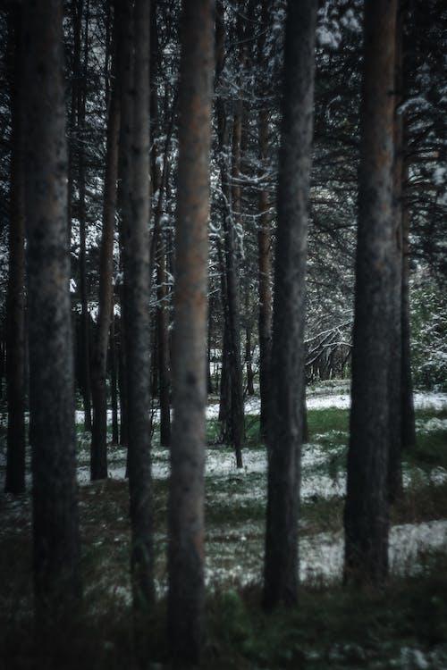 Gratis arkivbilde med årstid, eviggrønn, forkjølelse, gress