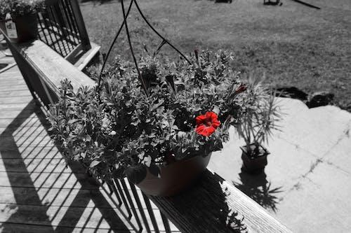 Foto stok gratis berkembang, bunga, flora, hitam & putih