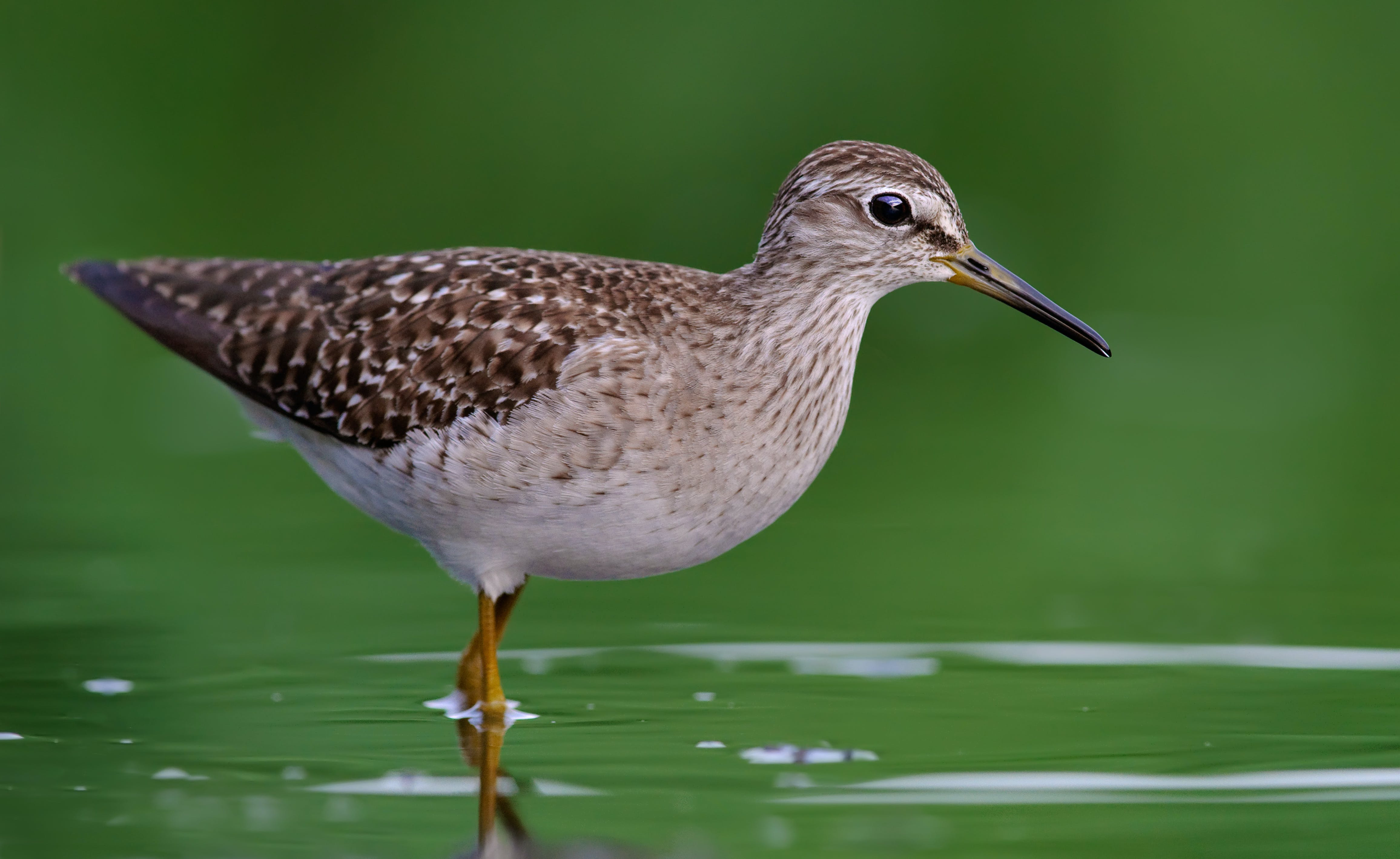 Close-Up Photography of Willet Bird on Water
