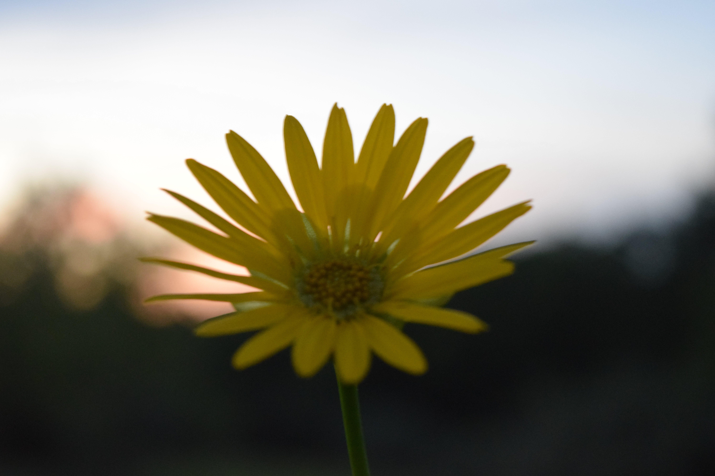 Gratis lagerfoto af blomst, blomster sæt, gul blomst, solnedgang