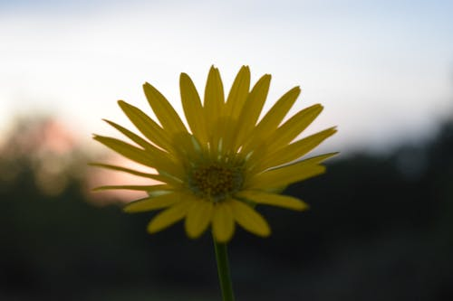 Free stock photo of flower, flower set, sunset, yellow flower
