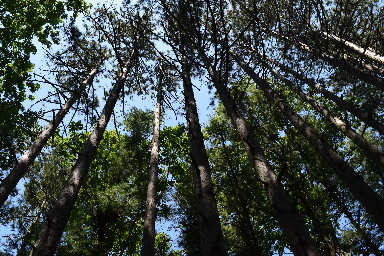 borovice, fotografie znízkého úhlu, kmeny