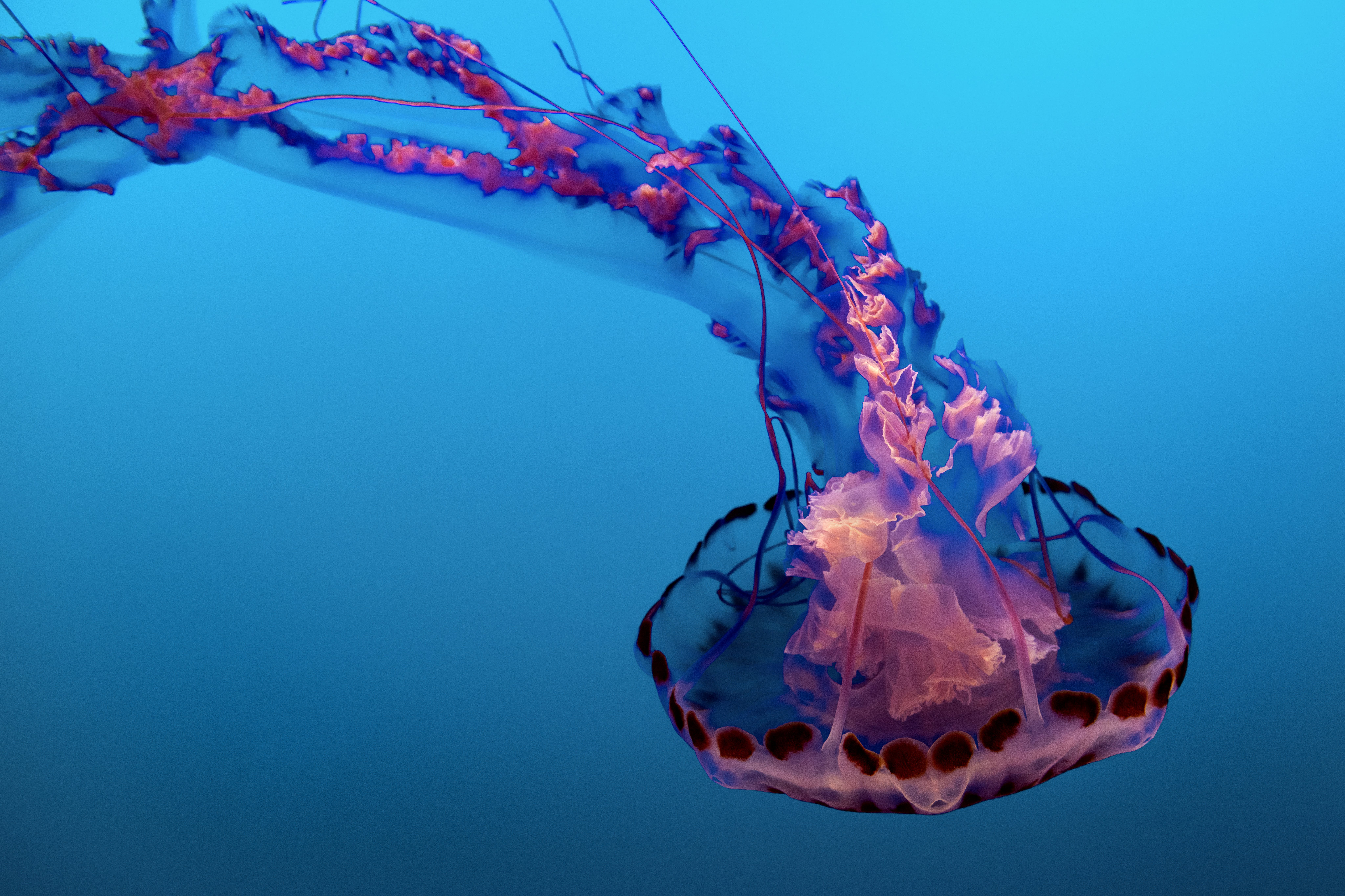 Purple and Pink Jelly Fish