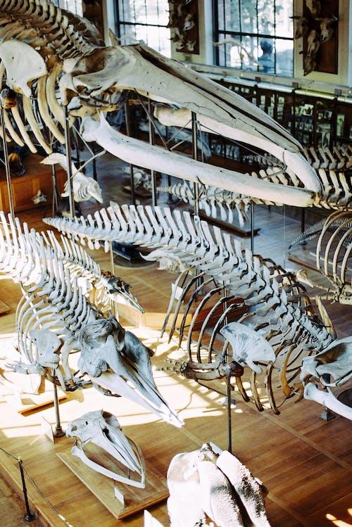 Animal Skeletons in Museum