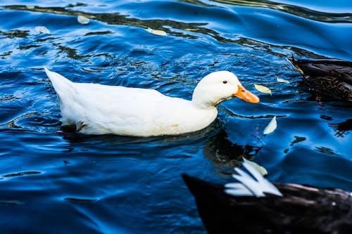 Бесплатное стоковое фото с вода, животное, плавание, природа