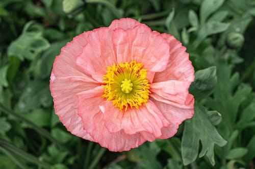 คลังภาพถ่ายฟรี ของ กลางแจ้ง, กลีบดอกไม้, การระบายสี