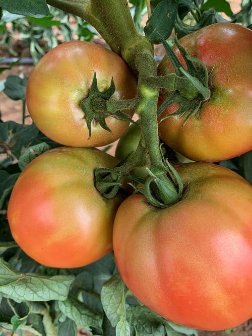 Immagine gratuita di foglie, pianta, pomodori