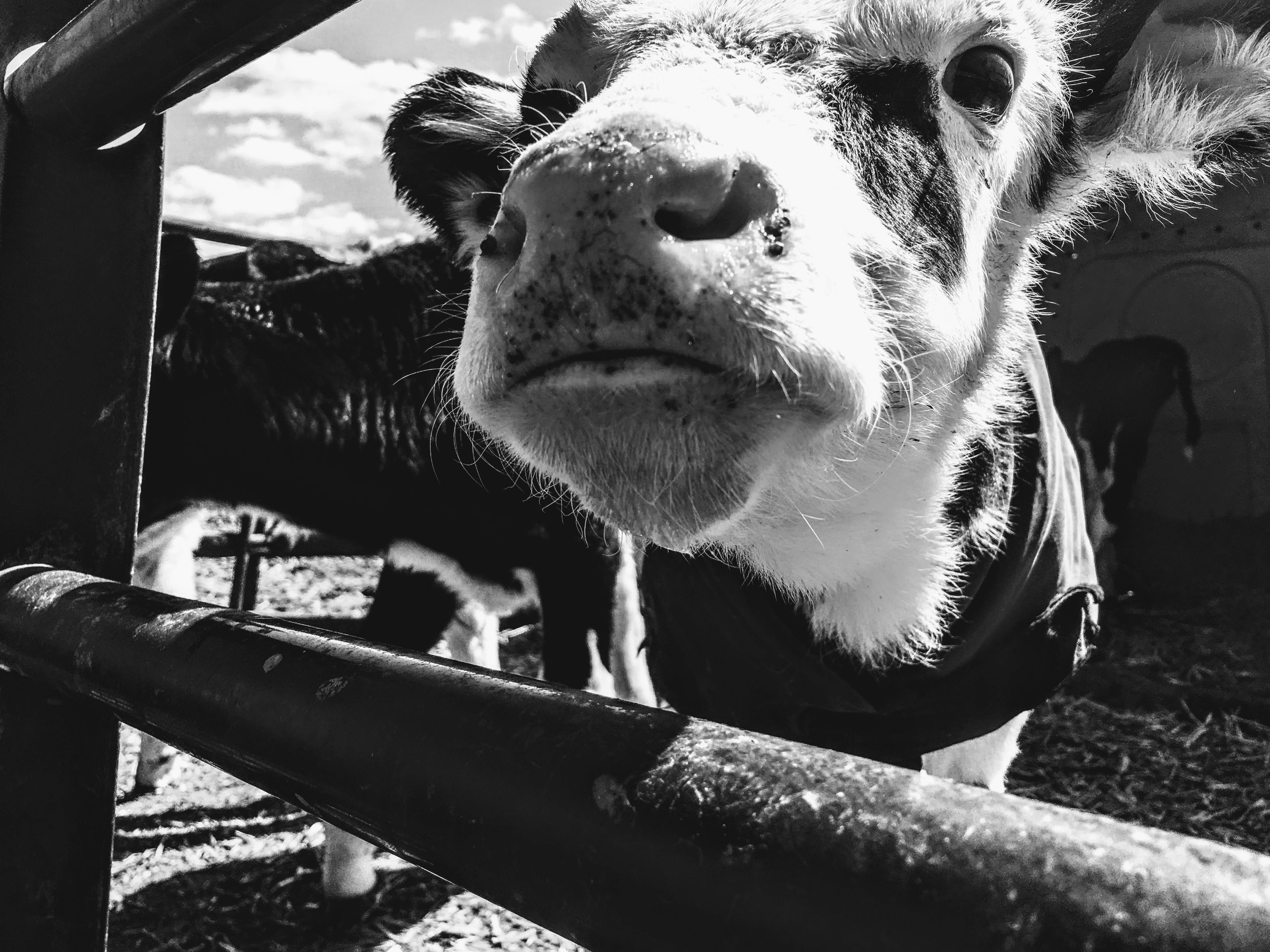 Grayscale Photography of Cattle