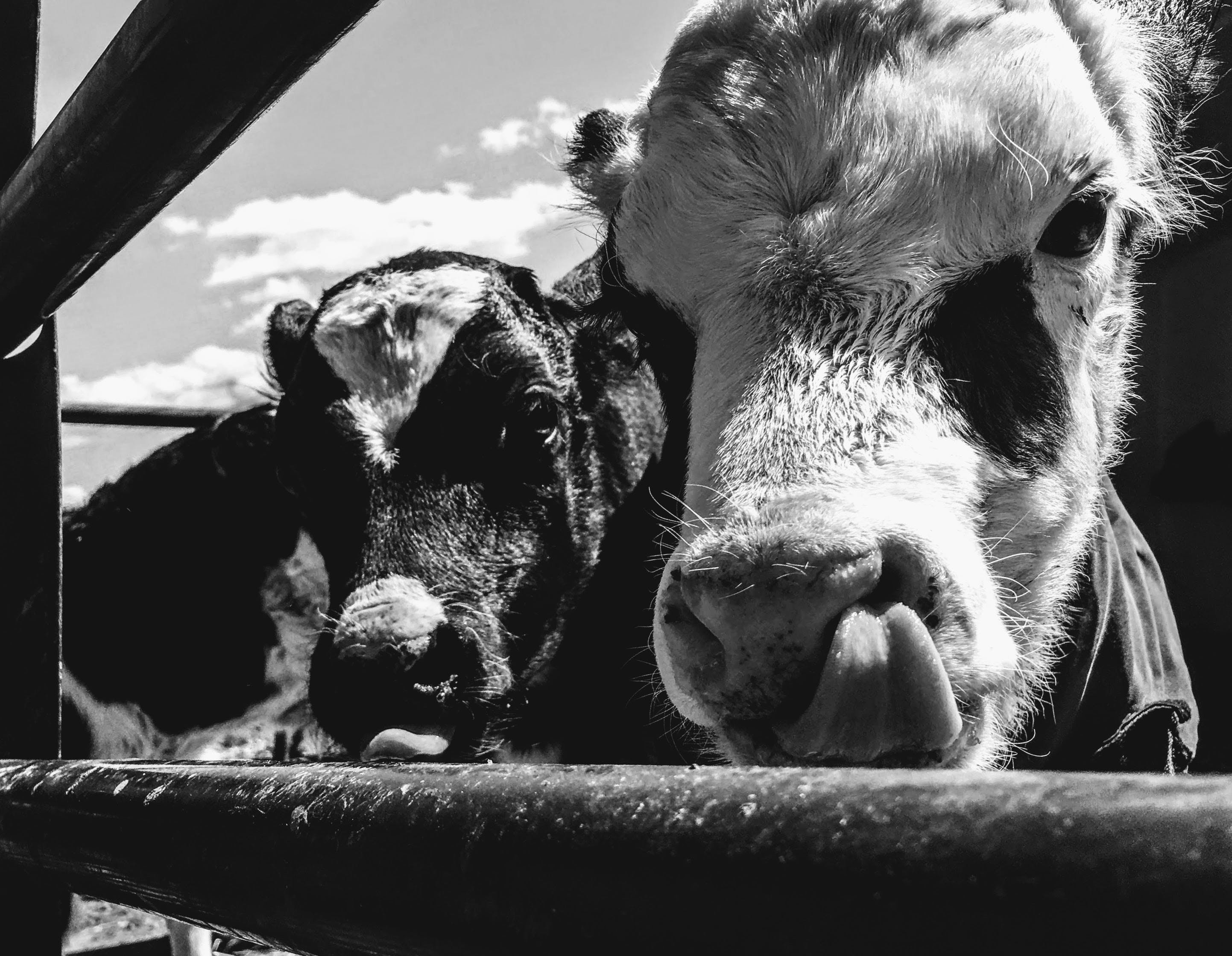 Grayscale Photo of Cows