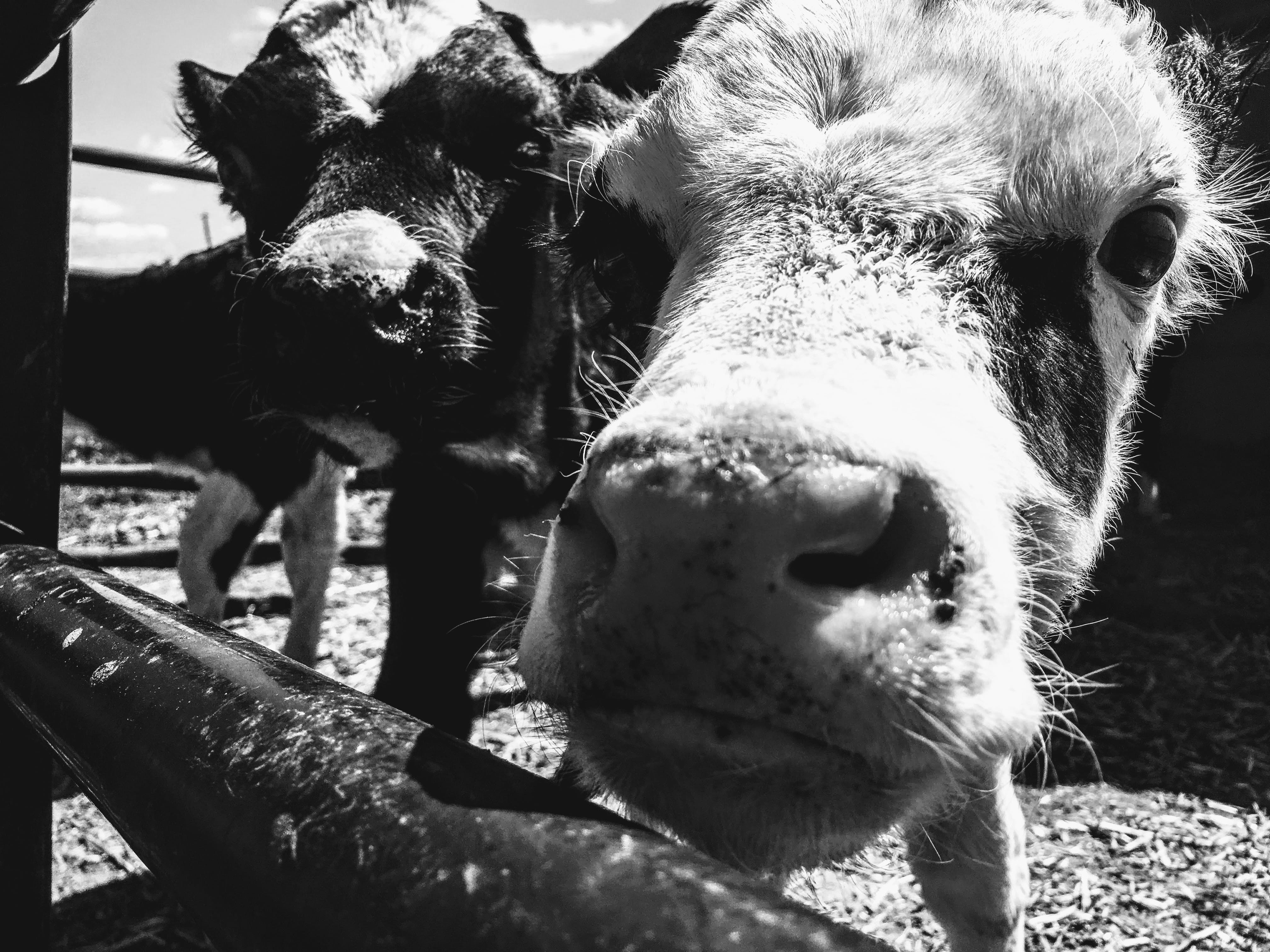 Grayscale Photograph of Two Cows