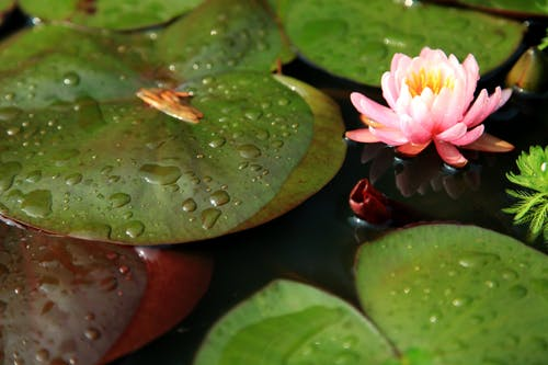 꽃, 물, 연꽃, 이슬의 무료 스톡 사진