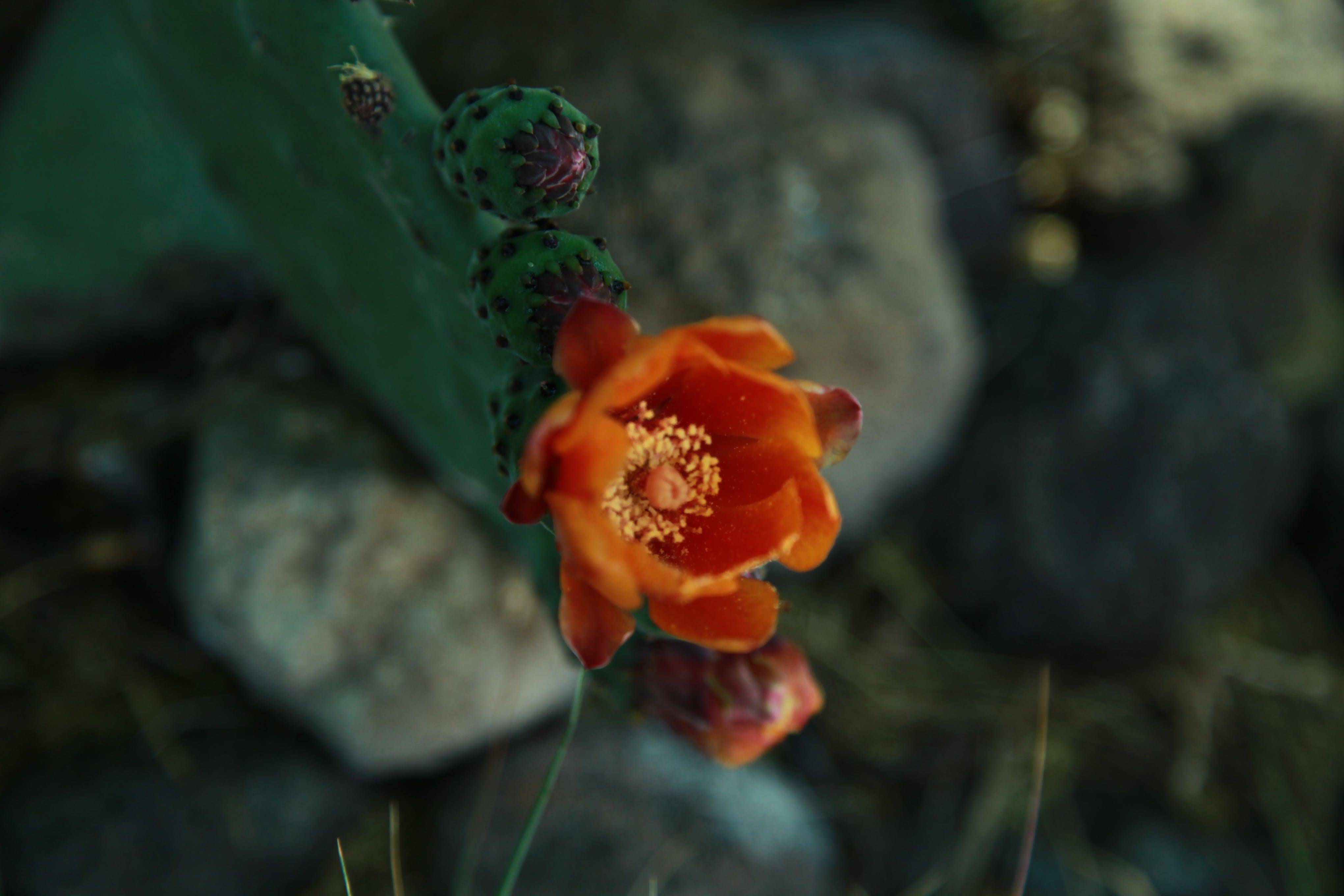 Ảnh lưu trữ miễn phí về cây xương rồng, hoa, khô khan, polen