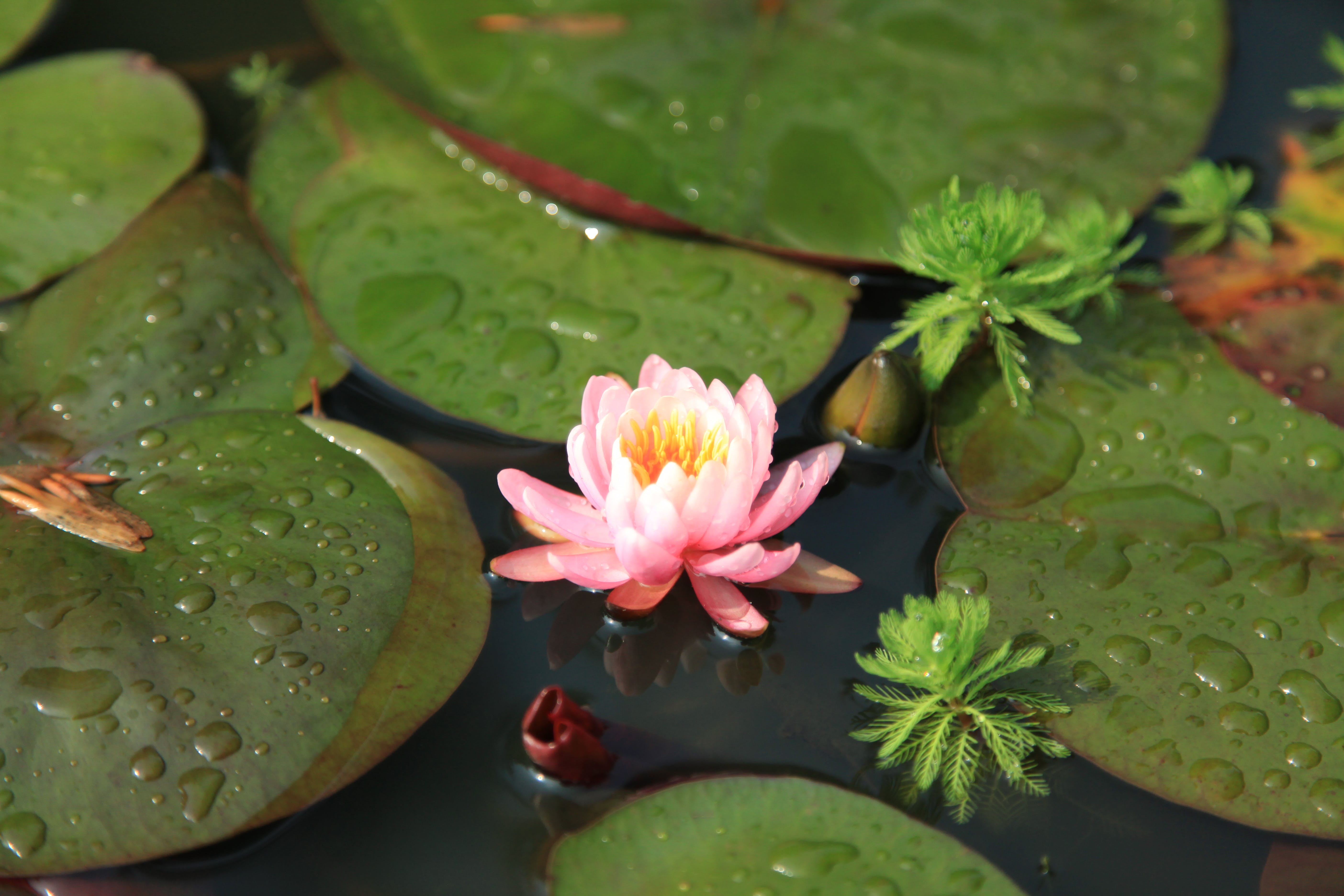 Ảnh lưu trữ miễn phí về cân đối, hoa, hoa sen, màu xanh lá