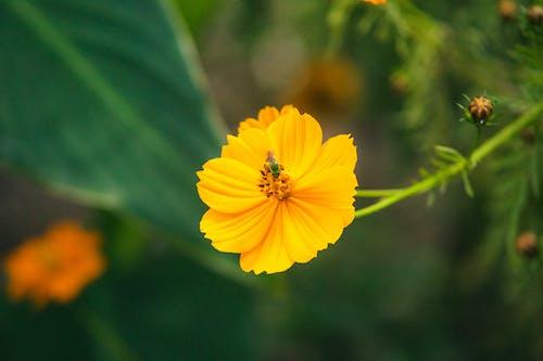 Безкоштовне стокове фото на тему «Бджола, зелена бджола, квітка»