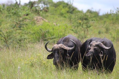 Бесплатное стоковое фото с буйвол, дикий, куст, фотографии животных