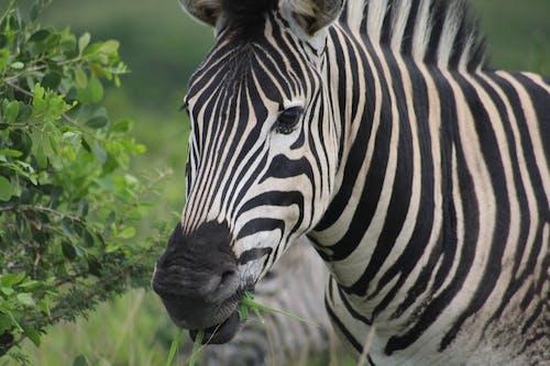Immagine gratuita di animali selvatici, bianco e nero, boscaglia, selvaggio