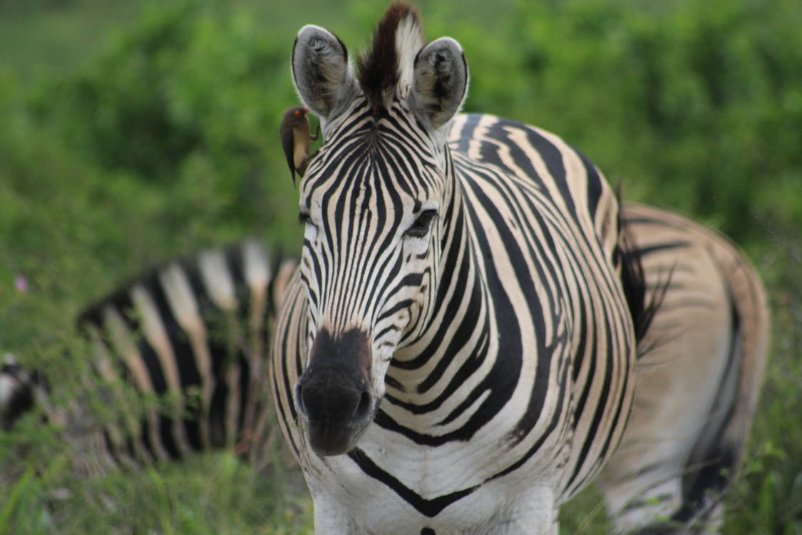 animals salvatges, blanc i negre, bushland