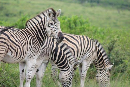 Бесплатное стоковое фото с белый и черный, дикие животные, дикий, зебра