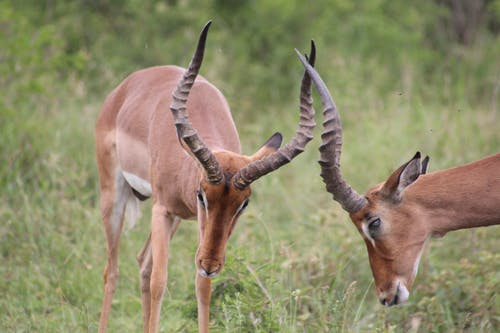 Imagine de stoc gratuită din Africa de Sud, animal, antilopă impala, arbust