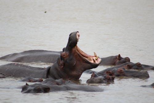 Бесплатное стоковое фото с бегемоты, гиппопотам, дикий, животное