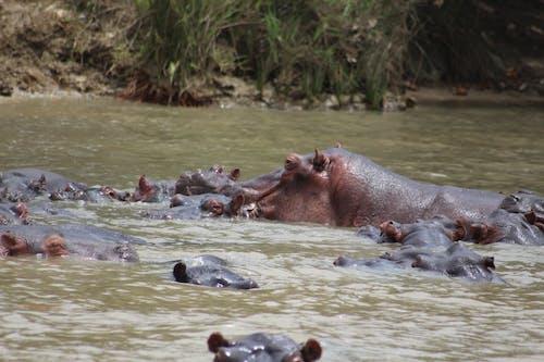 Immagine gratuita di acque calme, animale, ippopotami, ippopotamo