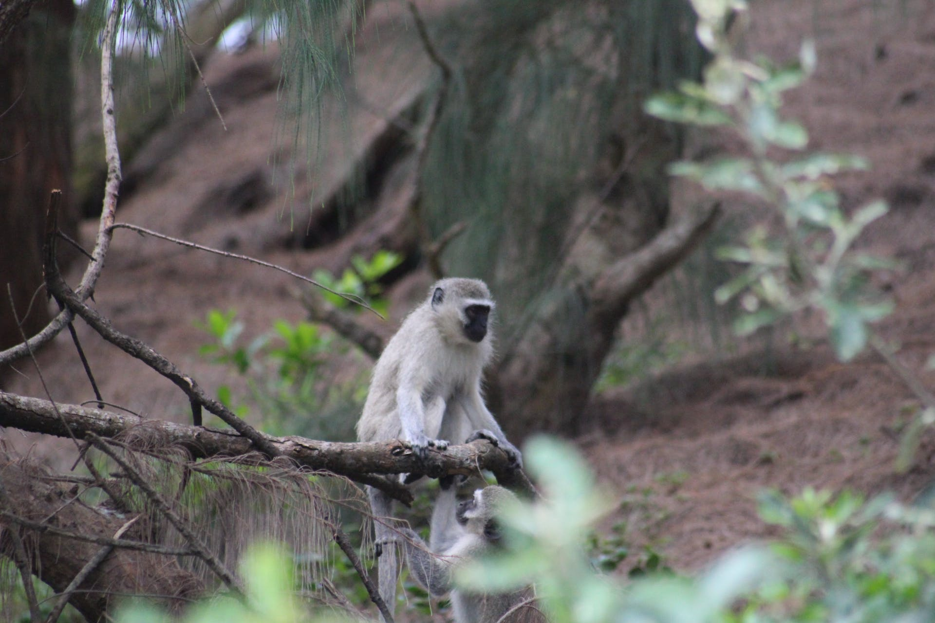 Free stock photo of baby monkey, candid, depth of field, durban