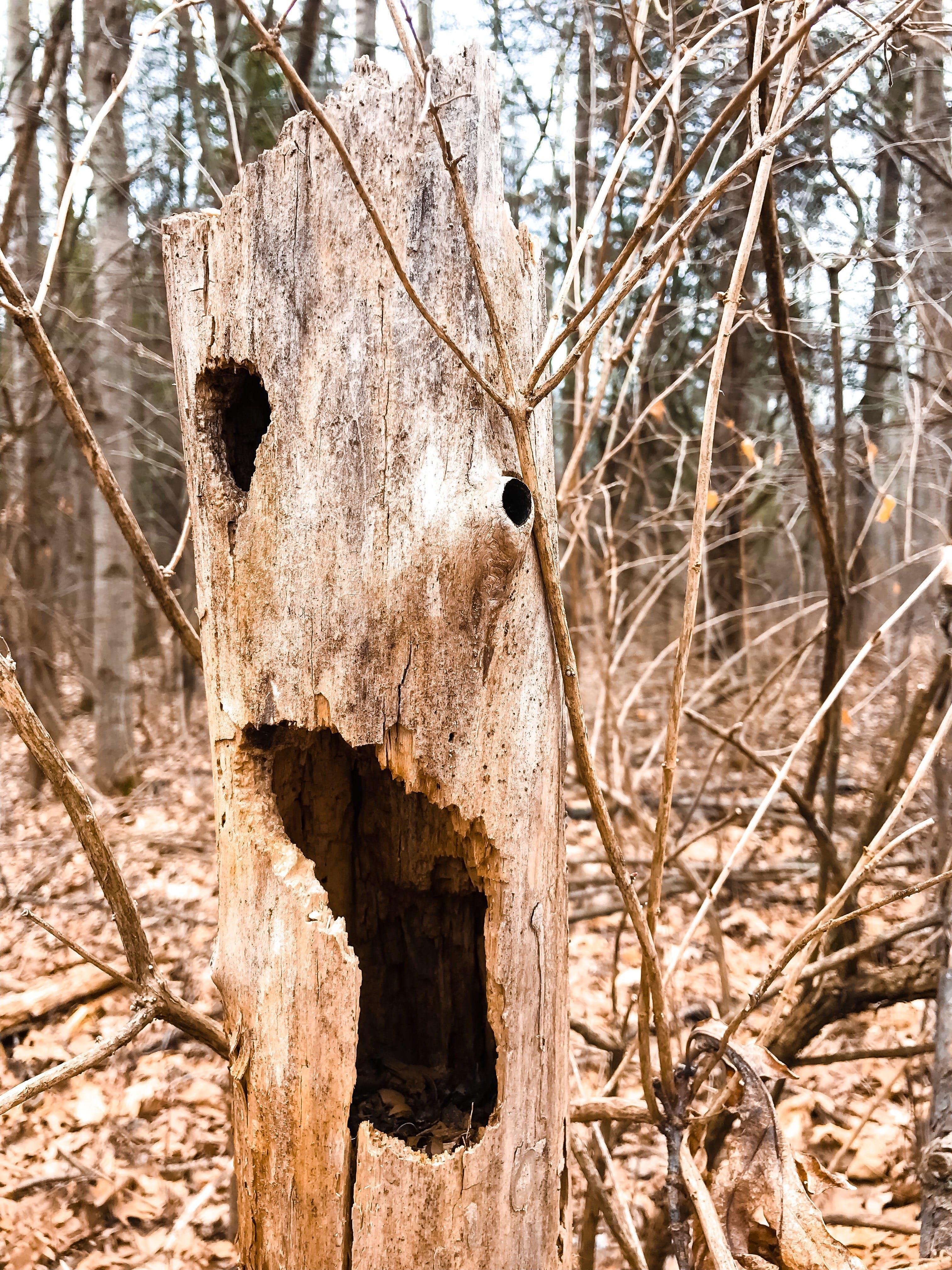 Δωρεάν στοκ φωτογραφιών με ανατριχιαστικός, γαβγίζω, δασικός, δέντρα
