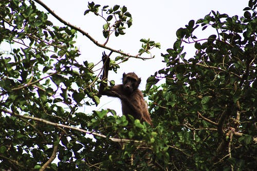 Immagine gratuita di babbuino, scimmia, selvaggio, sudafrica