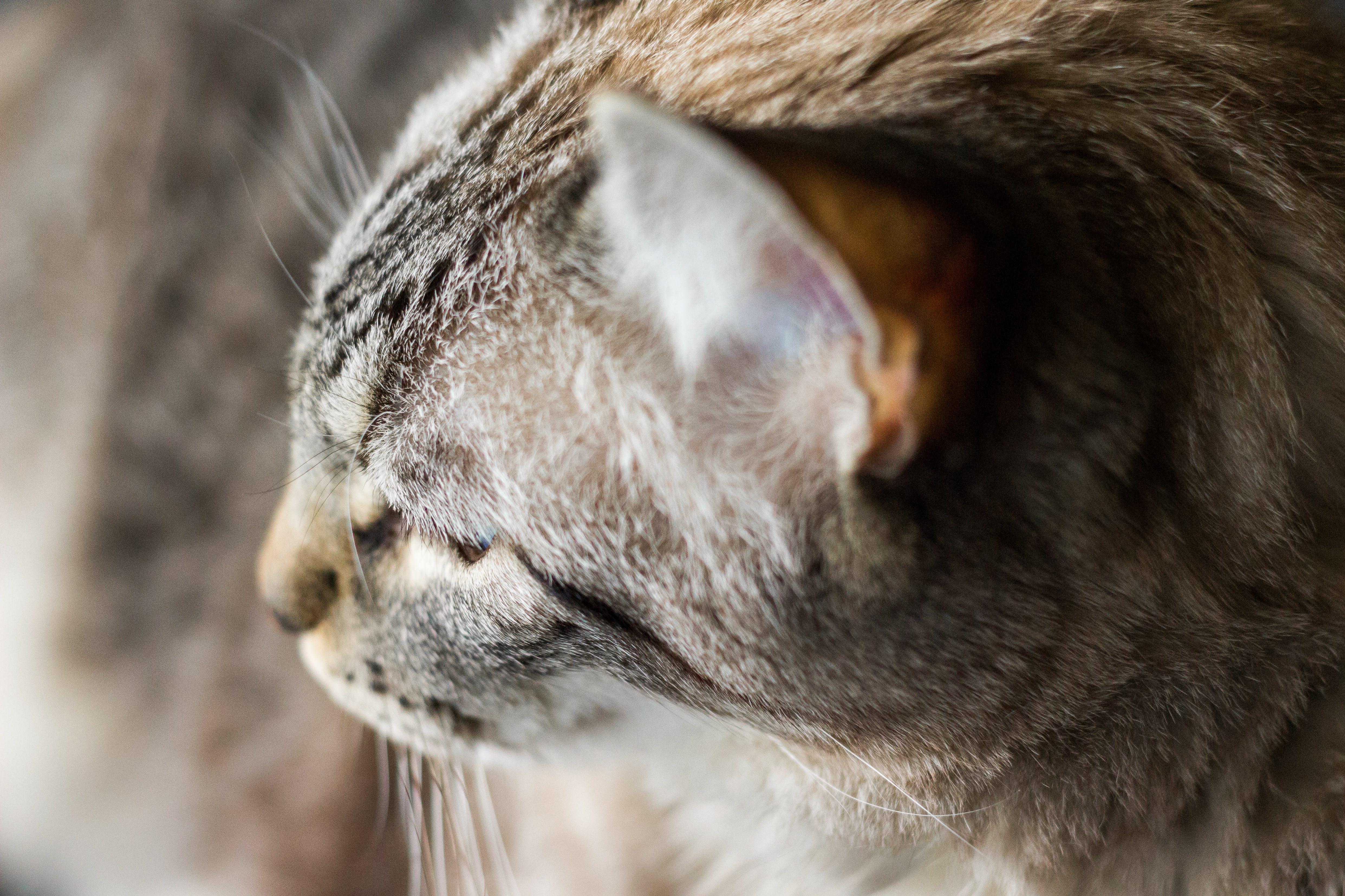 Foto stok gratis binatang, cambang, cute, hewan peliharaan