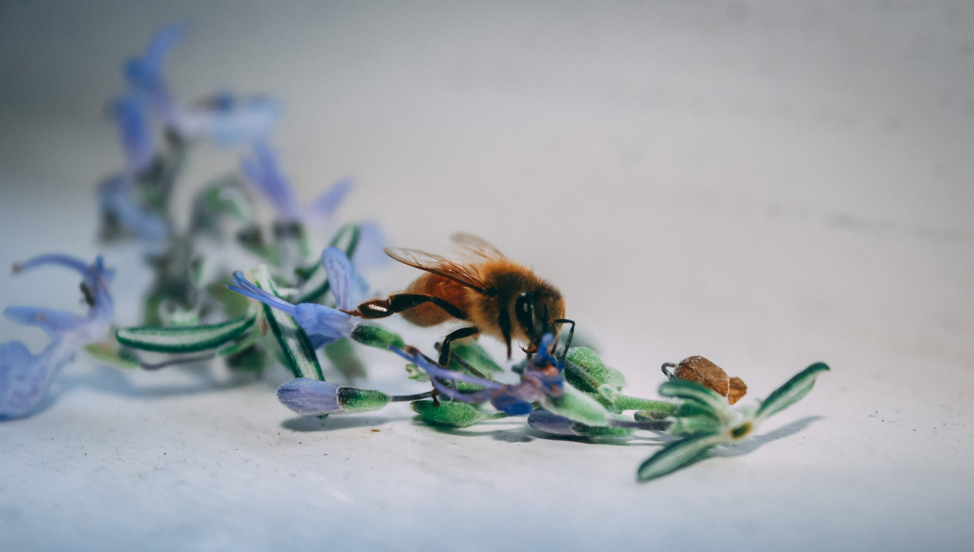 Bee On Blue Petaled Flower