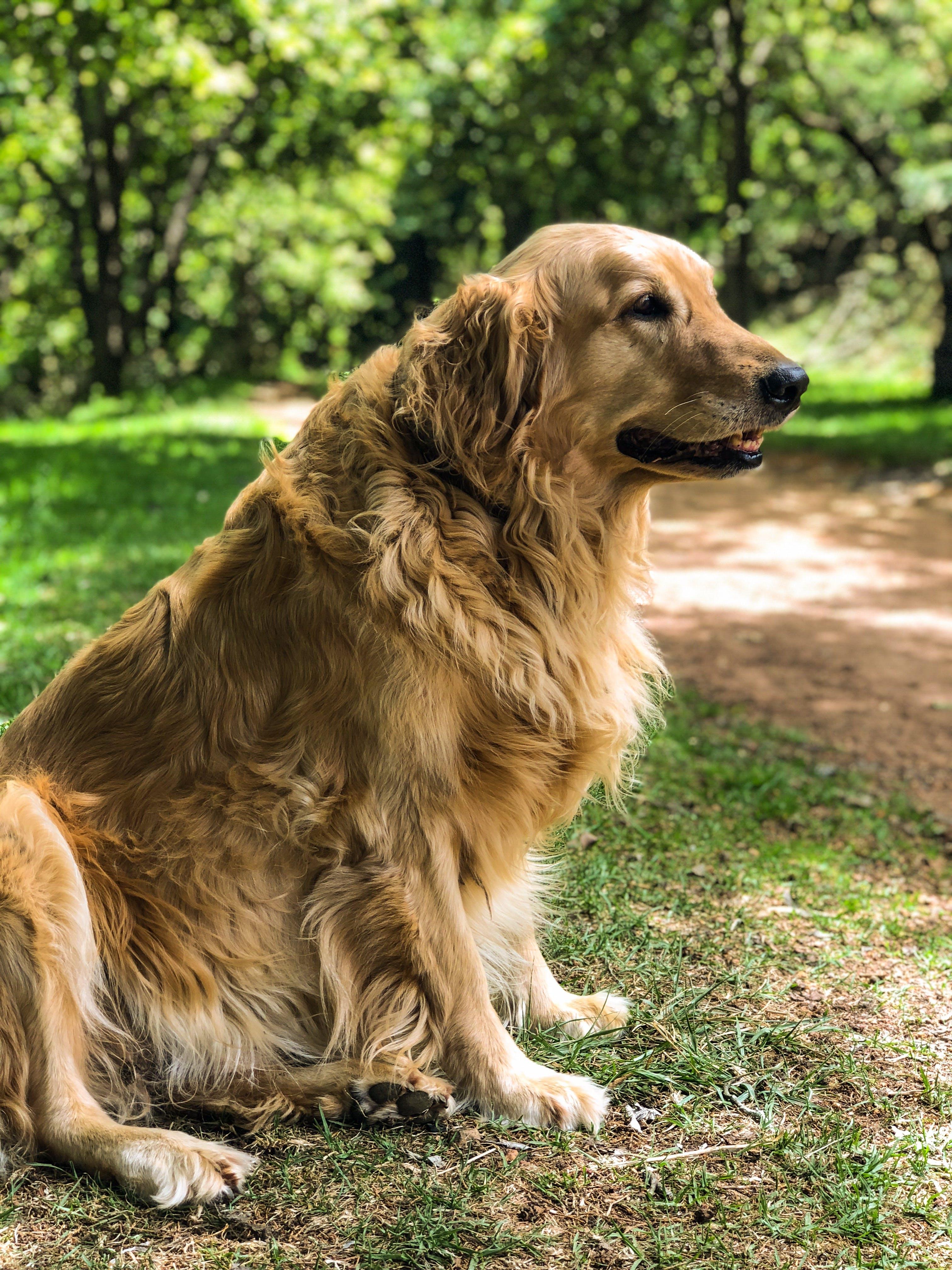 Adult Golden Retriever Sitting on Grass Field