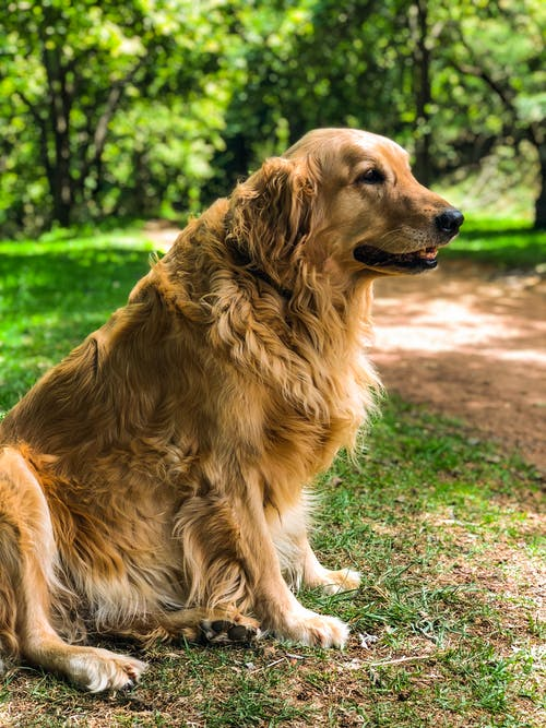 Adult Golden Retriever Sitting on Grass Field