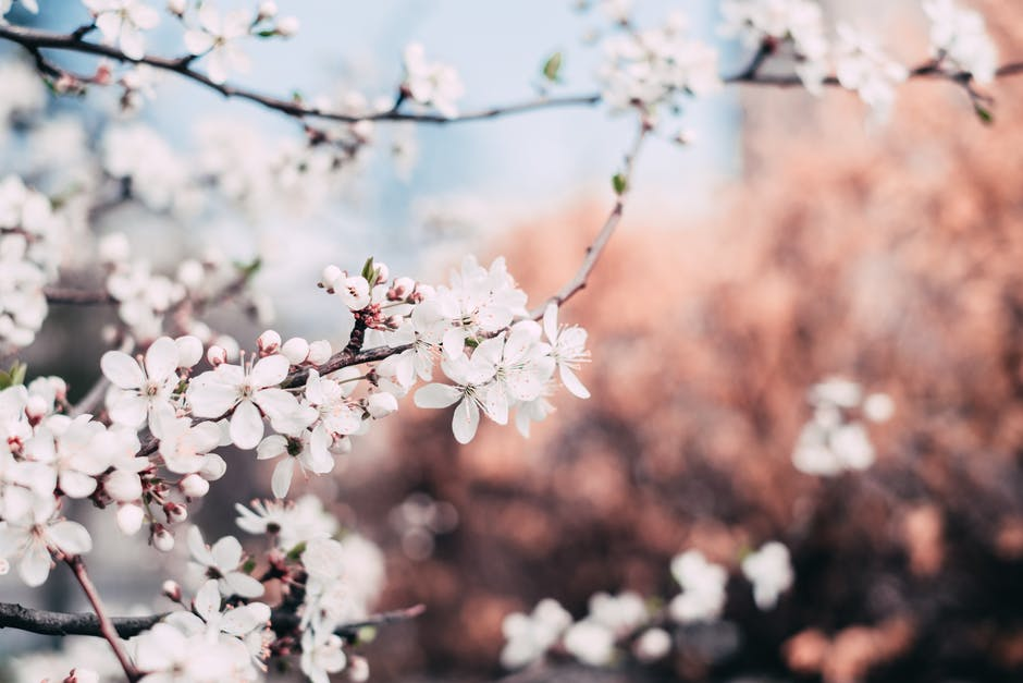 Close up photography of cherry blossoms