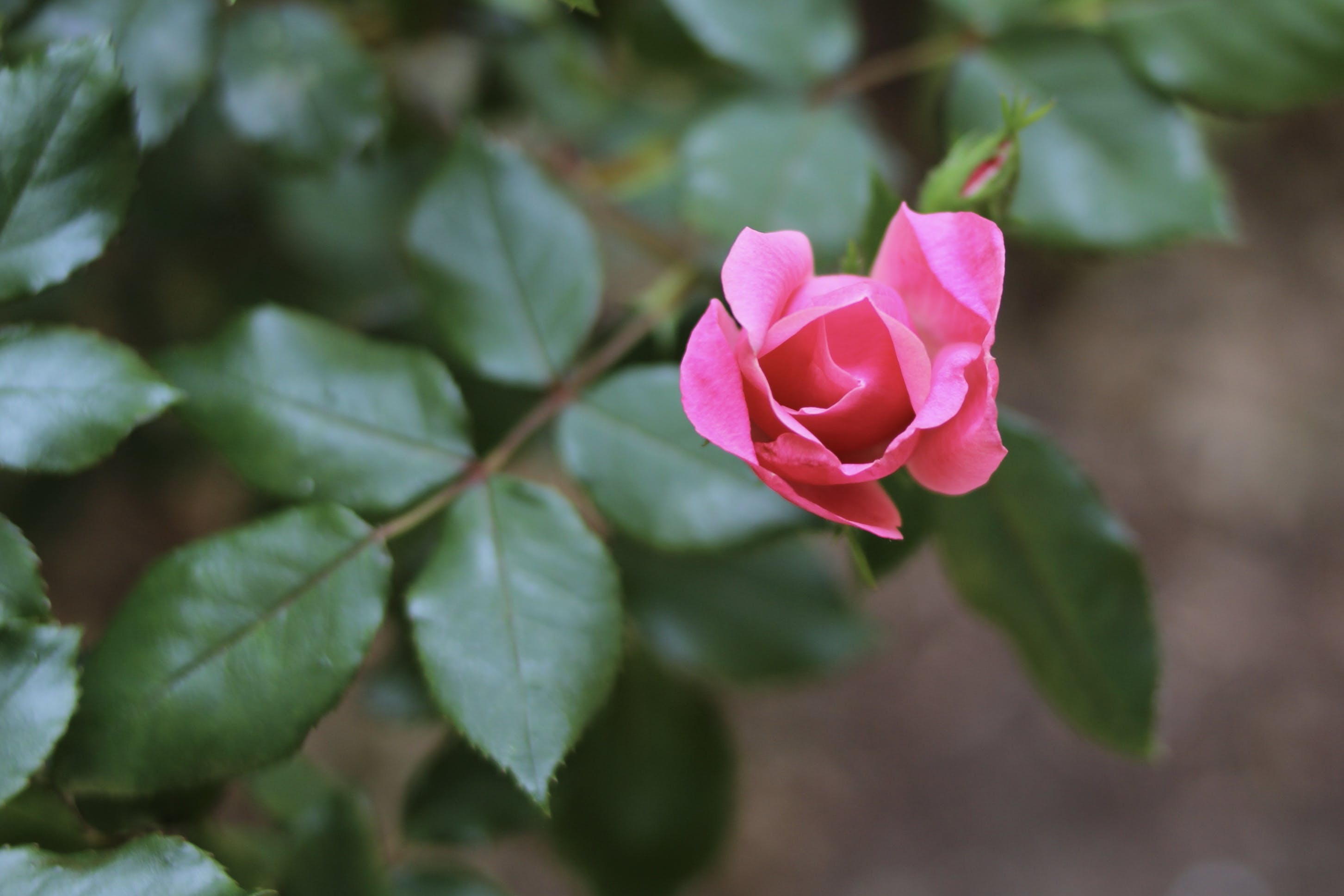 Gratis stockfoto met roos, Roze roos, roze roosknop, rozenknop