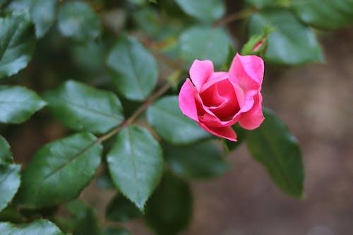 Free stock photo of Pink Rose, pink rose bud, rose, rose bud
