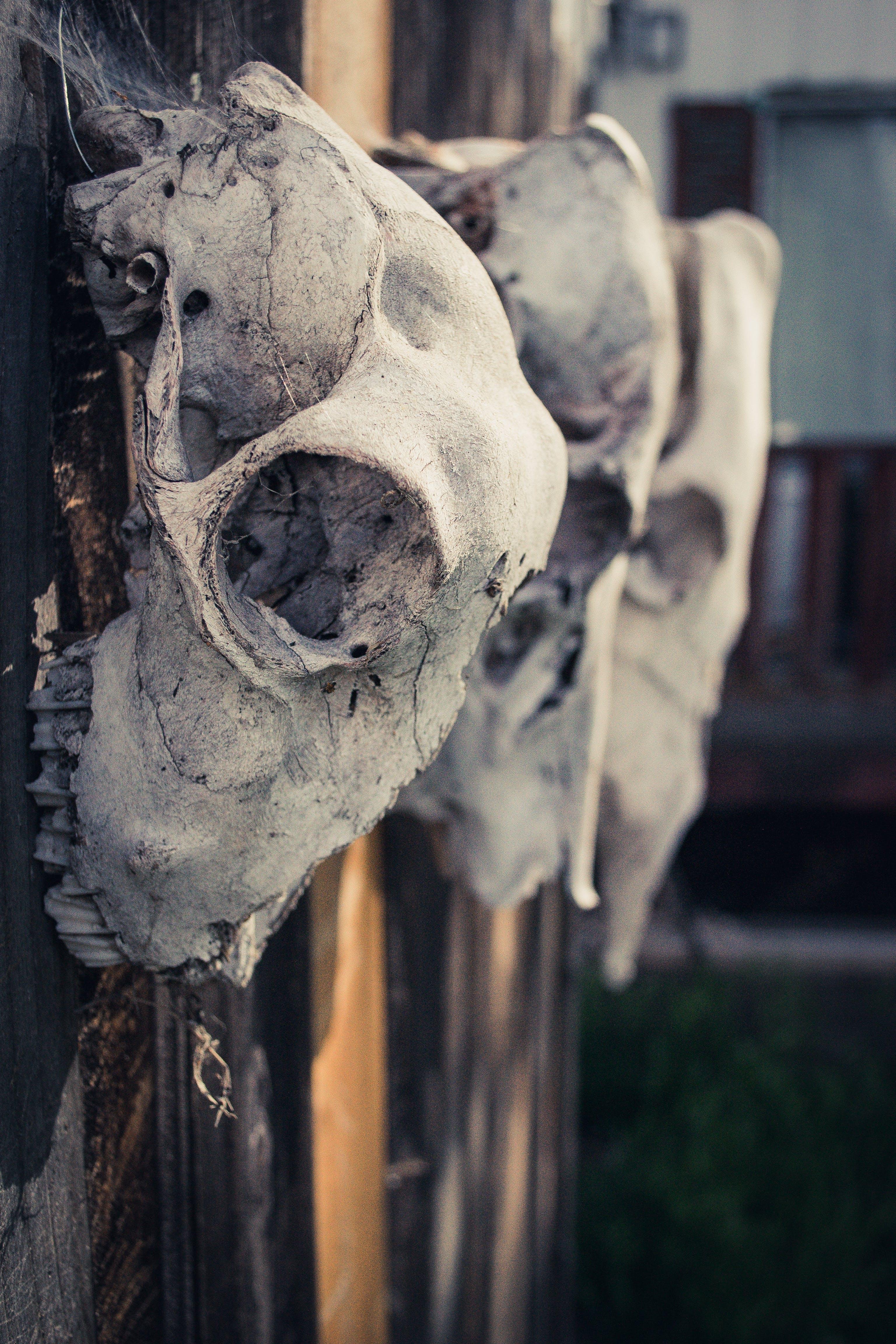 Three Gray Animal Skulls