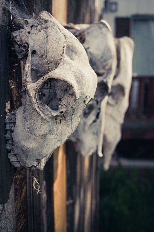 Three Gray Animal Skulls