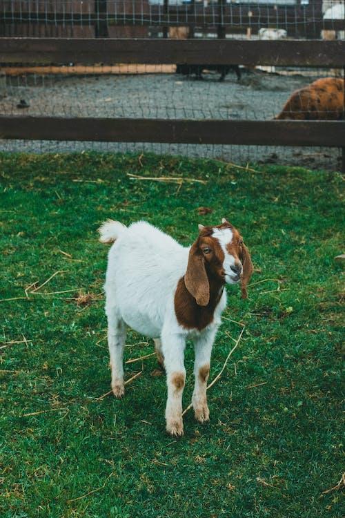 Immagine gratuita di animale, animali, azienda agricola