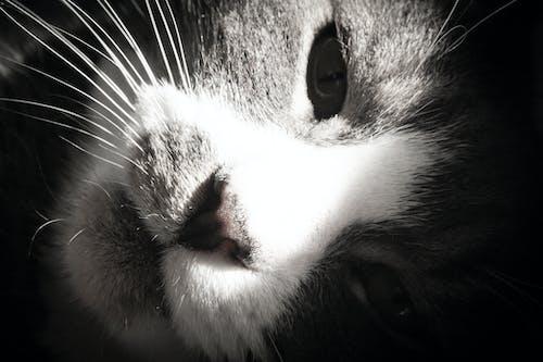 Ảnh lưu trữ miễn phí về con mèo, dễ thương, mắt, màu xám
